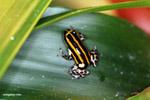 Ranitomeya lamasi dart frog