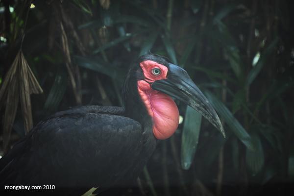 Southern ground-hornbill or cafer (Bucorvus leadbeateri)