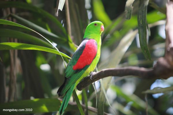Crimson-winged Parrot (Aprosmictus erythropterus)