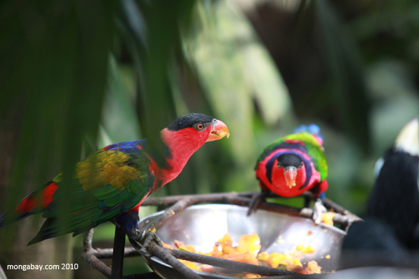 Black-capped lory in captivity