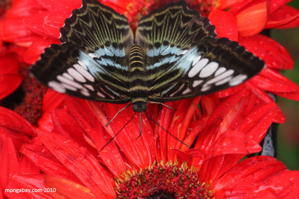 Clipper (Parthenos sylvia)