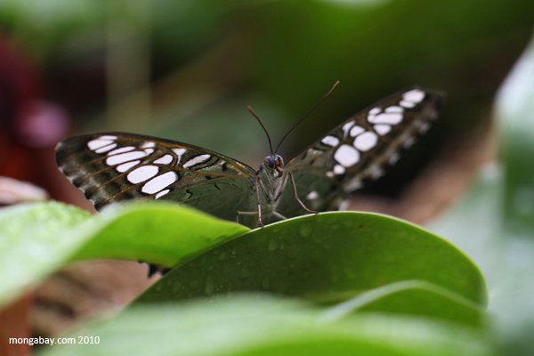 Common Sailor Butterfly (Neptis hylas)