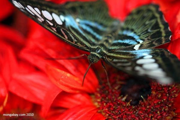 Malaysian Blue Clipper (Parthenos sylvia)