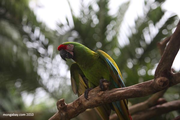 Buffon's Macaw (Ara ambiguus)