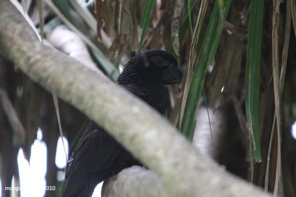 Black Lory (Chalcopsitta atra)