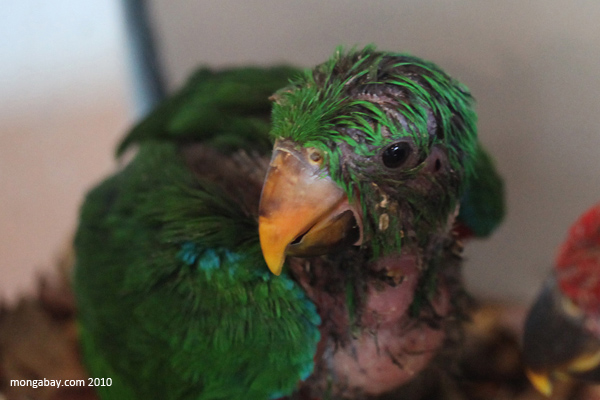 Baby Eclectus Parrots (Eclectus roratus polychloros)