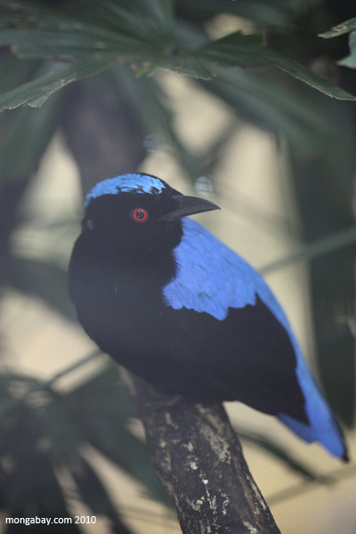 Asian Fairy-bluebird (Irena puella) [Burung besi in Indonesian)