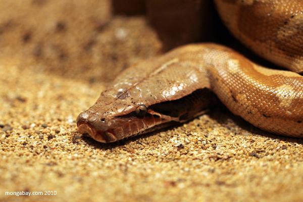 Borneo short-tailed python (Python curtus brongersmai)