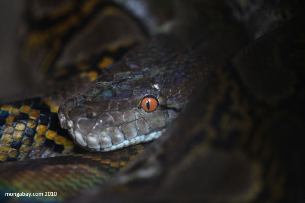Reticulated python, the world's longest snake