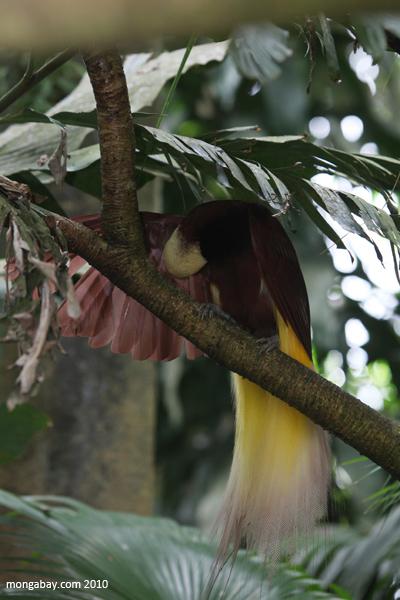 Greater bird of paradise (Paradisaea apoda)
