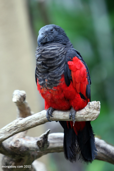 Pesquet's Parrot (Psittrichas fulgidus)