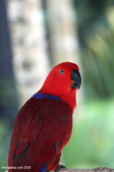 Female Eclectus Redsided Parrot (Eclectus roratus) [red, blue, purple]
