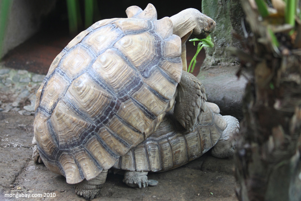 African Spur Thigh Tortoises (Geochelone sulcata) mating