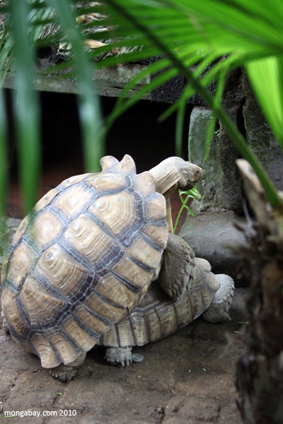 African Spurred Tortoises (Geochelone sulcata) mating