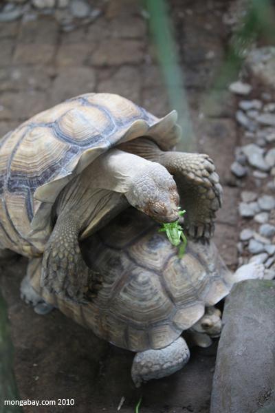 African Spur Thigh Tortoises (Geochelone sulcata) mating