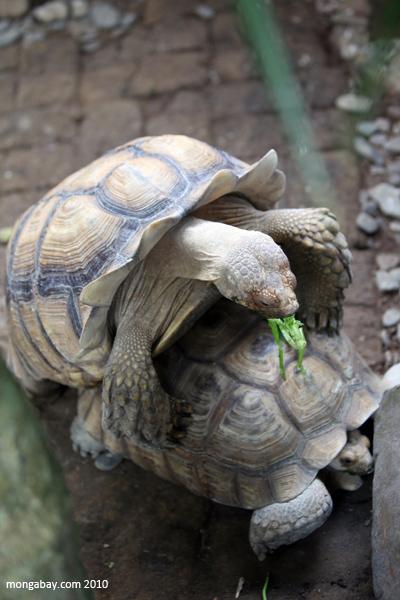 Sulcata Tortoises (Geochelone sulcata) mating