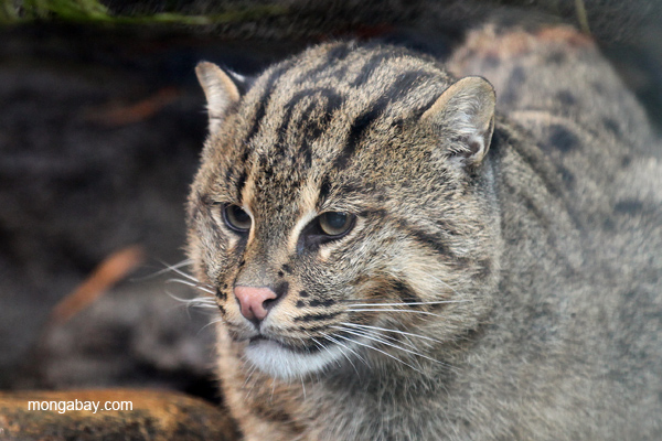 Captive Asian fishing cat. The Asian fishing cat (Prionailurus viverrinus) is listed as Endangered by the IUCN Red List. Photo by: Rhett A. Butler.