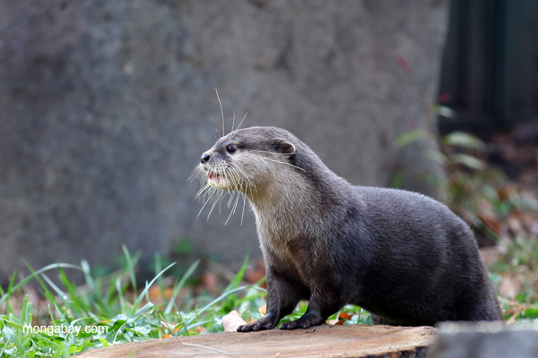 Asian small-clawed river otter in captivity