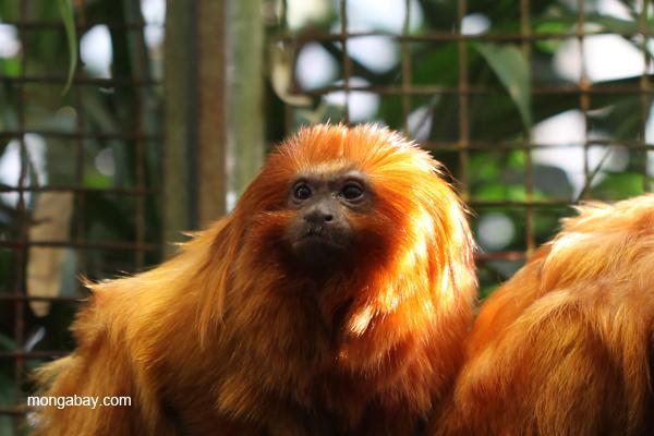 Golden lion tamarin (Leontopithecus rosalia) in captivity