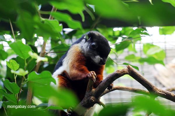Prevost's squirrel (Callosciurus prevosti)