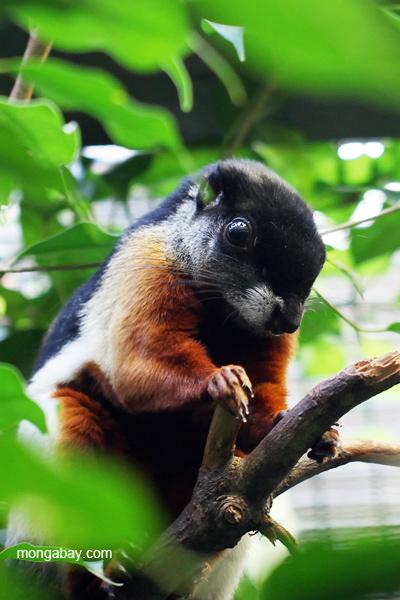 Tri-colored squirrel (Callosciurus prevosti)