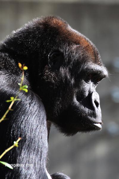 Female lowland gorilla
