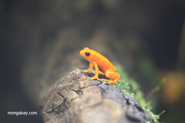 Golden mantella frog from Madagascar