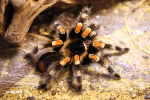 Orange knee tarantula (Bracypelma smithi)