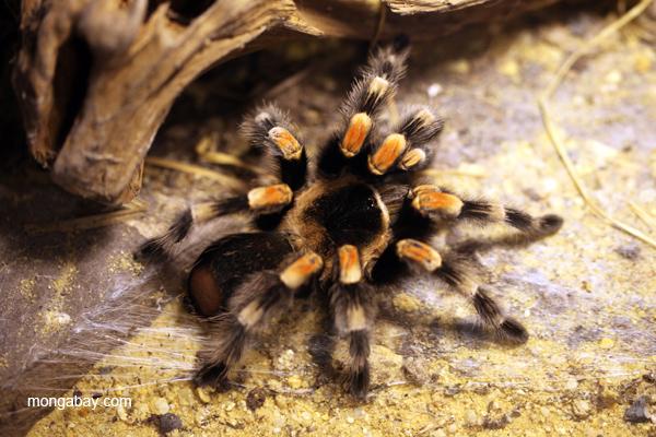 Orange knee tarantula (Bracypelma smithi)