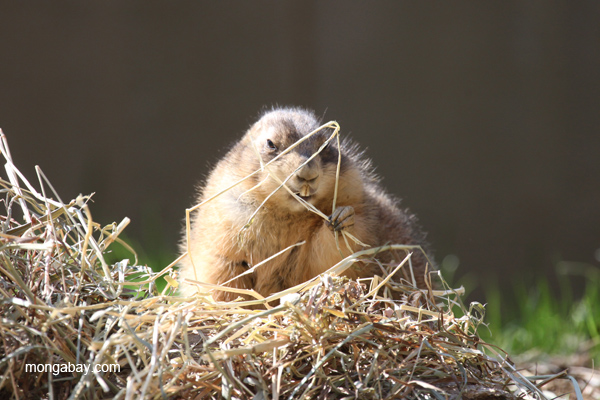 Fat Black-Tailed Prairie Dog eating straw