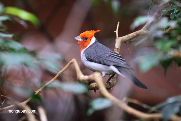 Red-crested Cardinal Pictures