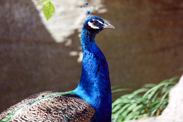 Male peacock - headshot