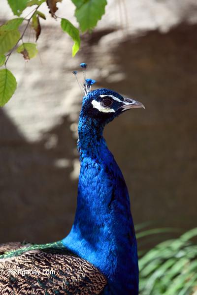 Male peacock in profile