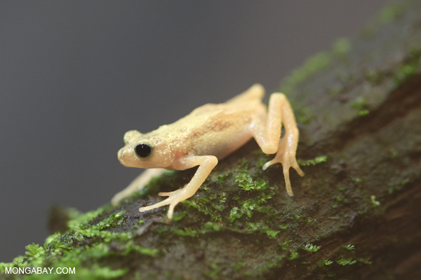 Kihansi spray toad (Nectophrynoides asperginis)