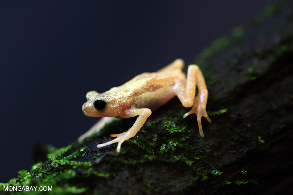 Kihansi spray toad