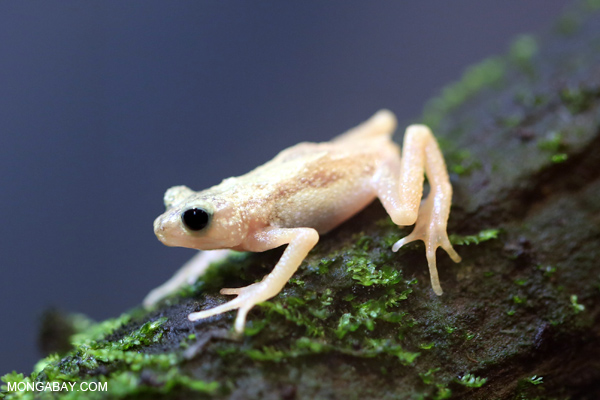 Extinct-in-the-wild Kihansi spray toad (Nectophrynoides asperginis)
