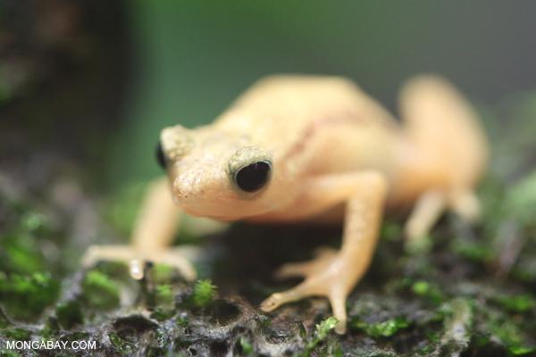 Kihansi spray toad (Nectophrynoides asperginis)