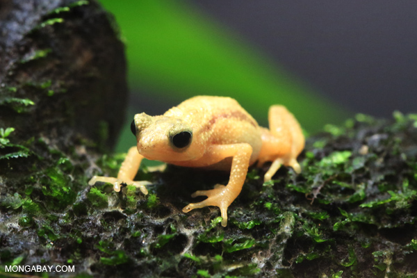 A captive Kihansi spray toad at the WCS Bronx Zoo. Photo by: Rhett A. Butler.
