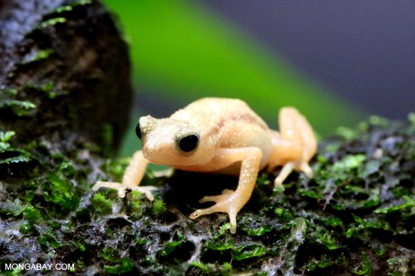 Extinct-in-the-wild Kihansi spray toad