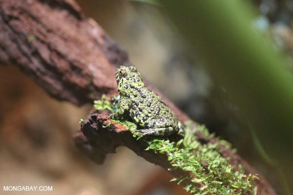Tonkin Bug-eyed Frog (Theloderma corticale)
