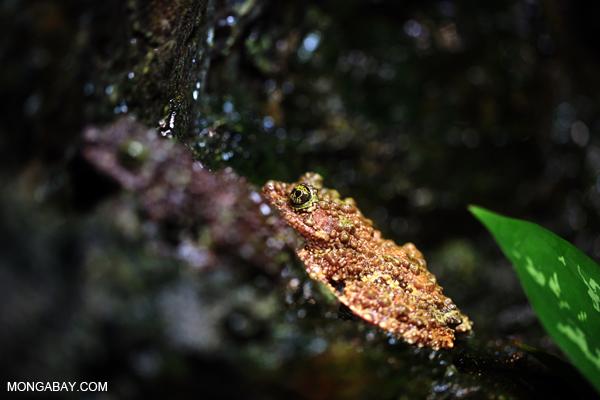 Tonkin Bug-eyed Frog