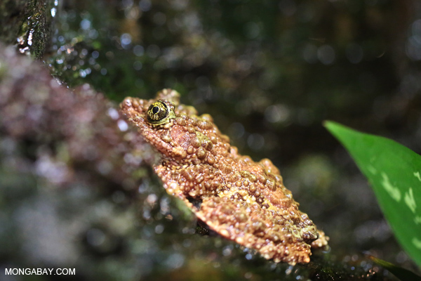 Tonkin Bug-eyed Frog (Theloderma corticale)