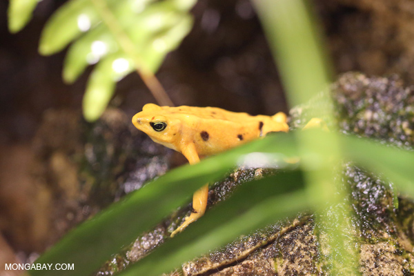 Panama golden toad