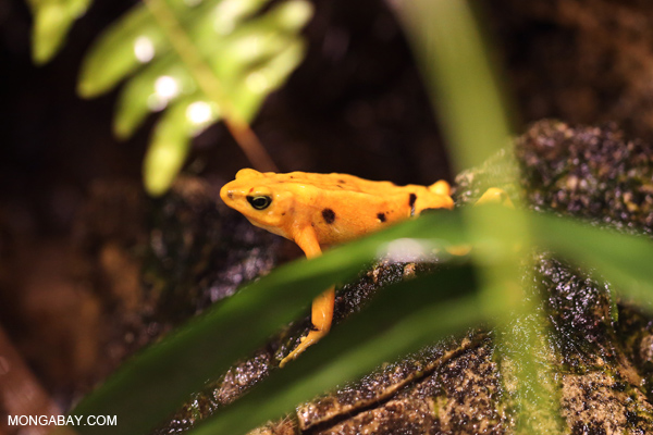 Panama golden toad