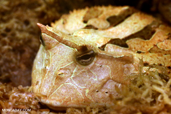 Suriname horned frog