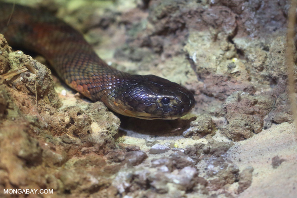 Red spitting cobra (Naja pallida)