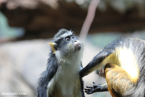 DeBrazza's monkeys (Cercopithecus neglectus) grooming
