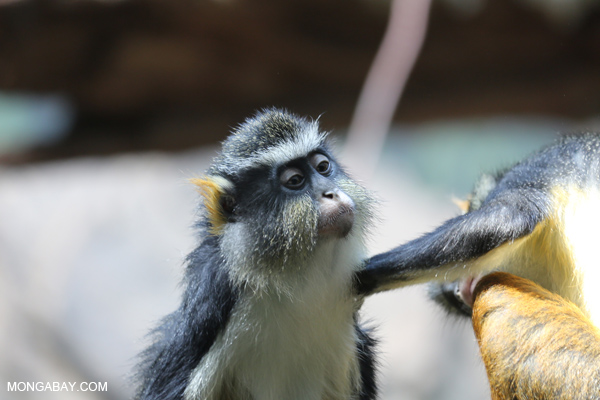 DeBrazza's monkeys grooming