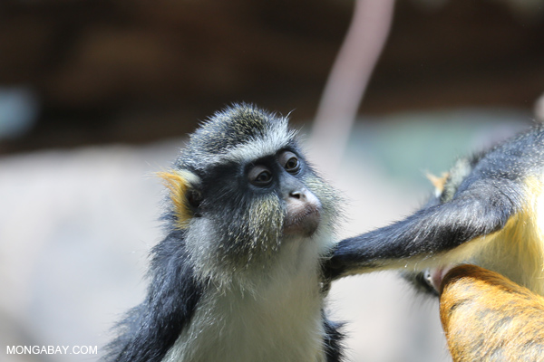 De Brazza's monkeys (Cercopithecus neglectus) grooming