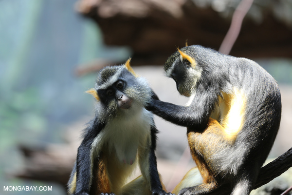 De Brazza's monkeys (Cercopithecus neglectus) grooming